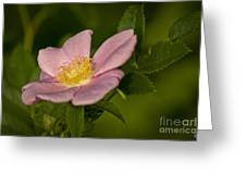 Wild Rose Greeting Card by Alana Ranney