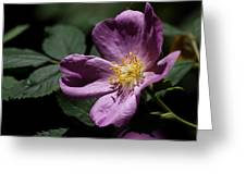 Wild Rose Greeting Card by Rona Black