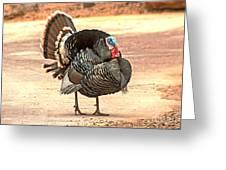 Wild Tom Turkey Greeting Card by Robert Bales