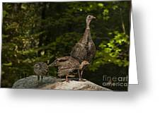 Wild Turkey And Chicks Greeting Card by Ron Sanford