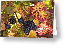 Wine grapes Cabernet Franc Greeting Card by Garry Gay