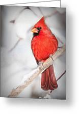 Winter Northern Cardinal Greeting Card by Jana Thompson