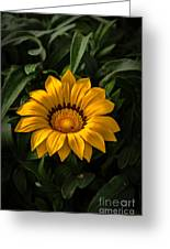 Yellow Gazania Greeting Card by Robert Bales