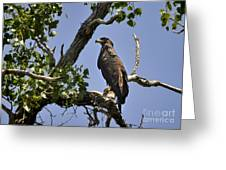 Young Bald Eagle Greeting Card by Nava  Thompson