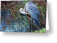 Young Blue Heron Preening Greeting Card by Paul Ward