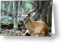 Young Buck At Rest Greeting Card by Paul Ward