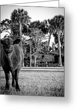 Young Cow Old Barn Greeting Card by Christy Usilton