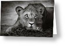 Young Lion Portrait Greeting Card by Johan Swanepoel