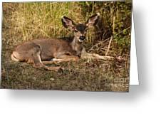 Young Mule Deer Greeting Card by Robert Bales