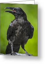 Young Raven Greeting Card by Tim Grams