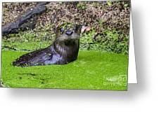 Young River Otter Egan's Creek Greenway Florida Greeting Card by Dawna  Moore Photography