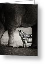 Zebra Barking Greeting Card by Johan Swanepoel