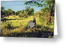 Zebra In Grass On African Savanna. Greeting Card by Michal Bednarek