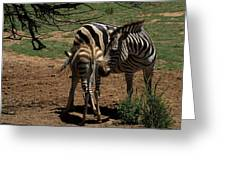 Zebra Mother and Foal Greeting Card by Graham Palmer