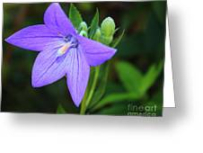 August Balloon Flower Greeting Card by Marjorie Imbeau