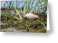 Young Roseate Spoonbill Greeting Card by Kathy Gibbons