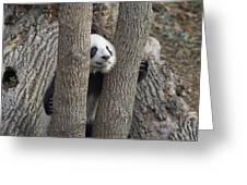 A Baby Panda Plays On A Branch Greeting Card by Taylor S. Kennedy