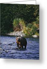 A Kodiak Brown Bear Ursus Middendorfii Greeting Card by George F. Mobley