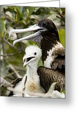 Adult Frigatebird Fregata Species Greeting Card by Tim Laman