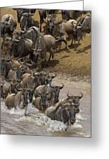 Blue Wildebeest Connochaetes Taurinus Greeting Card by Suzi Eszterhas