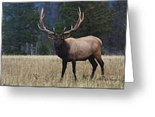 Bull Elk Greeting Card by Bob Christopher