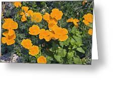 Californian Poppy (eschscholzia Sp.) Greeting Card by Dr Keith Wheeler
