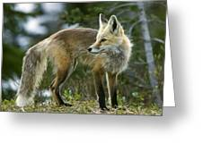 Cascade Red Fox Greeting Card by Bob Gibbons