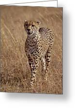 Cheetah Acinonyx Jubatus Portrait Greeting Card by Gerry Ellis