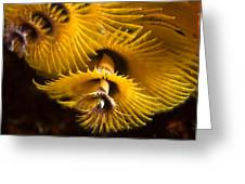 Christmas Tree Worms On The Ocean Floor Greeting Card by Tim Laman