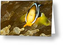 Clarks Anemonefish Among An Anemones Greeting Card by Tim Laman