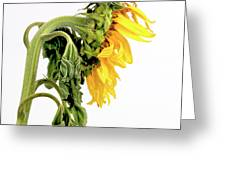 Close Up Of Sunflower. Greeting Card by Bernard Jaubert