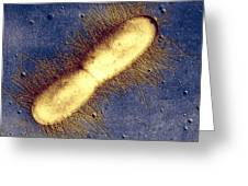 E. Coli Bacterium Greeting Card by Cnri