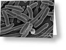 Escherichia Coli Bacteria, Sem Greeting Card by Science Source