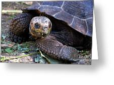 Galapagos Giant Tortoise Greeting Card by Sami Sarkis