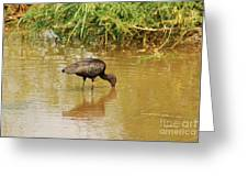 Glossy Ibis Greeting Card by Kathy Gibbons
