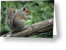 Grey Squirrel Greeting Card by David Aubrey