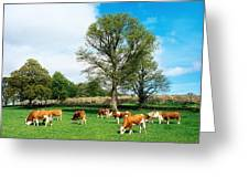 Hereford Bullocks Greeting Card by The Irish Image Collection
