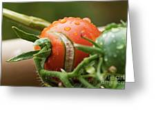 Immature tomatoes Greeting Card by Sami Sarkis