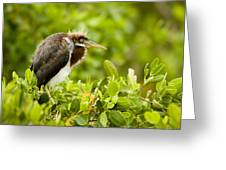 Juvenile Tricolored Heron Egretta Greeting Card by Tim Laman