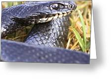 Large Whipsnake (coluber Jugularis) Greeting Card by Photostock-israel