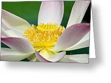 Lotus Up Close Greeting Card by Sabrina L Ryan