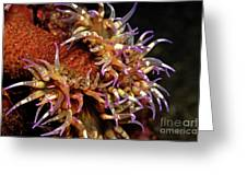 Mexican Anemone Greeting Card by Sami Sarkis