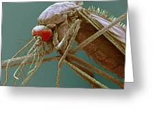 Mosquito, Sem Greeting Card by Steve Gschmeissner