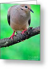 Mourning Dove Greeting Card by Thomas R Fletcher