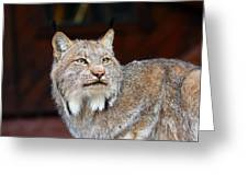North American Lynx Greeting Card by Paul Fell