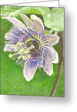 Passiflora Alatocaerulea Greeting Card by Steve Asbell