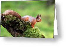 Red Squirrel Greeting Card by Grant Glendinning