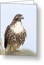 Red-tail Hawk  Greeting Card by Angie Vogel
