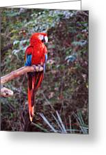 Scarlet Macaw Greeting Card by DiDi Higginbotham