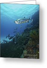 School Of Tarpon, Bonaire, Caribbean Greeting Card by Terry Moore